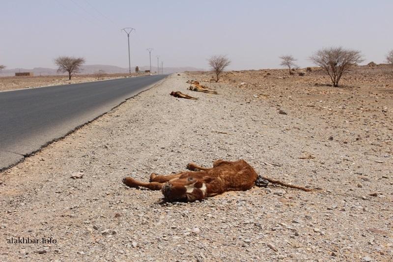 مجموعة أبقار نافقة عند المدخل الغربي لقرية السياسة على طريق الأمل ـ (تصوير الأخبار)