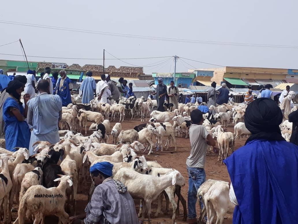سوق الحيوانات في مدينة الطينطان صباح اليوم (الأخبار)