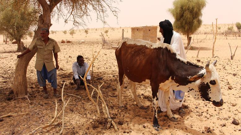 منمون مع أبقارهم خلال موسم جفاف سابق بولاية الحوض الغربي شرفي البلاد