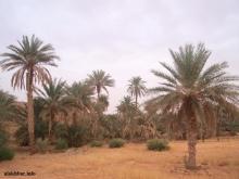 نخيل في وادي الرشيد بولاية تكانت وسط موريتانيا ـ (الأخبار)